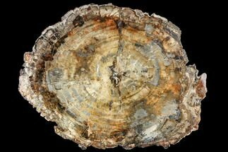 Araucaria sp. - Fossils For Sale - #113271