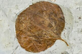 "Buy 3.0"" Fossil Leaf (Zizyphoides) - Montana - #113263"