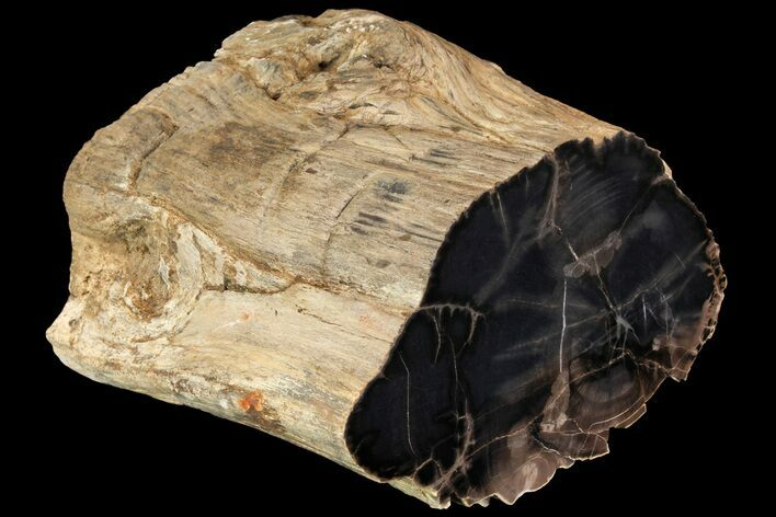 "6.8"" Tall Polished Petrified Wood Log - Arizona"