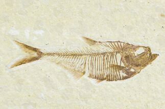 "3.3"" Detailed Fossil Fish (Diplomystus) - Wyoming For Sale, #113564"
