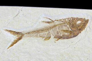 "Buy 2.4"" Detailed Fossil Fish (Diplomystus) - Wyoming - #113569"