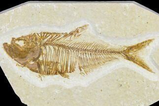 "2.5"" Detailed Fossil Fish (Diplomystus) - Wyoming For Sale, #113570"