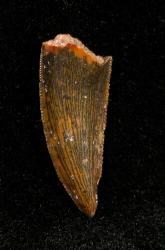 Dromaeosaur/Raptor Tooth From Morocco