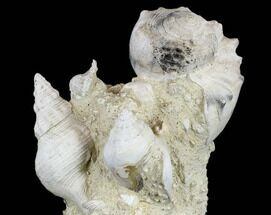 "8.4"" Tall, Miocene Fossil Gastropod Cluster - France For Sale, #113654"