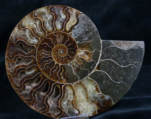 "5.9"" Split Ammonite Fossil (Half)"
