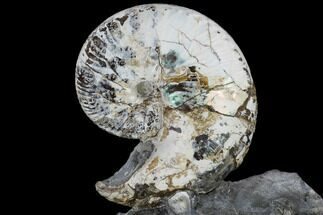 Hoploscaphites nicolletti - Fossils For Sale - #115152