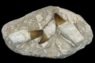 Prognathodon sp.  - Fossils For Sale - #115782