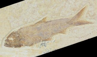"2.8"" Detailed Fossil Fish (Knightia) - Wyoming For Sale, #115088"