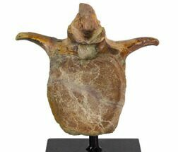 "Buy 5.9"" Hadrosaur Vertebra With Metal Stand - Judith River Formation - #116290"