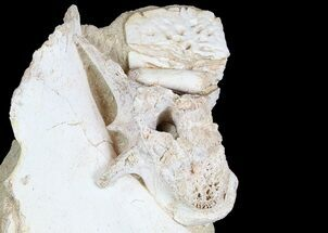 Fossil Crocodile Scute, Vertebra & Bones In Rock (Reduced Price) For Sale, #78098