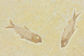 Two Detailed Fossil Fish (Knightia) - Wyoming For Sale, #116765