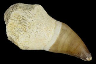 "Buy 2.3"" Fossil Rooted Mosasaur (Prognathodon) Tooth - Morocco - #116872"