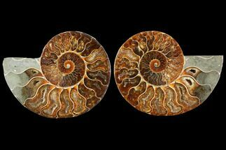 "Buy 4.9"" Agatized Ammonite Fossil (Pair) - Madagascar - #114859"