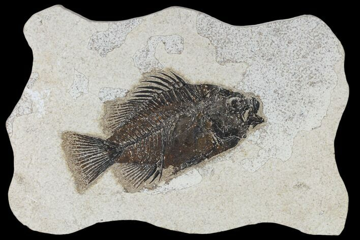 "5.5"" Fossil Fish (Cockerellites) - Green River Formation"