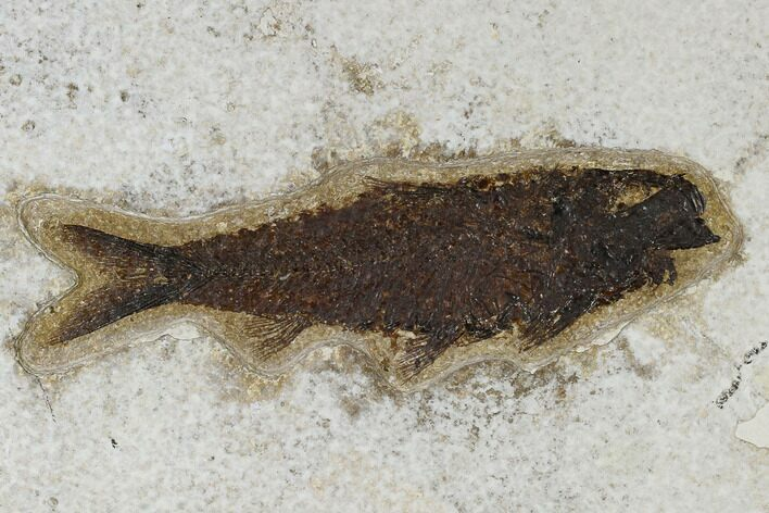 "Large, 5.7"" Fossil Fish (Knightia) - Green River Formation"