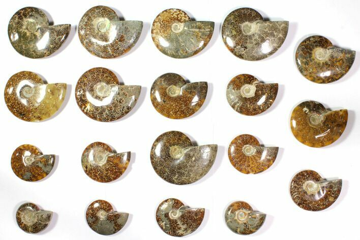 "Wholesale Lot: 2.8 to 5.1"" Polished Ammonite Fossils - 19 Pieces"