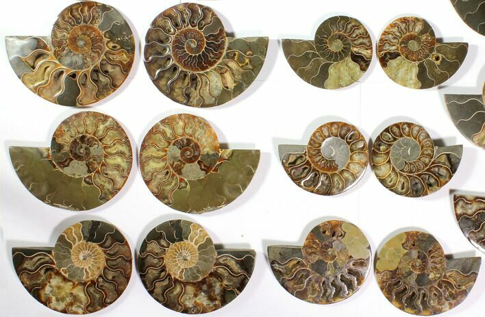 "Wholesale Lot: 4.1 to 5.8"" Cut/Polished Ammonite Fossil - 11 Pairs"