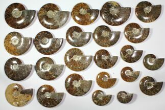 "Wholesale Lot: 3 - 5.6"" Polished Whole Ammonite Fossils - 24 Pieces For Sale, #116621"