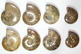 "Lot: 3.3 - 6"" Polished Whole Ammonite Fossils - 20 Pieces - #116639-1"