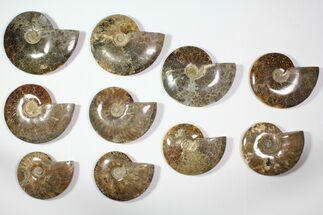 "Wholesale Lot: 5.5 - 7.2"" Polished Whole Ammonite Fossils - 10 Pieces For Sale, #116726"