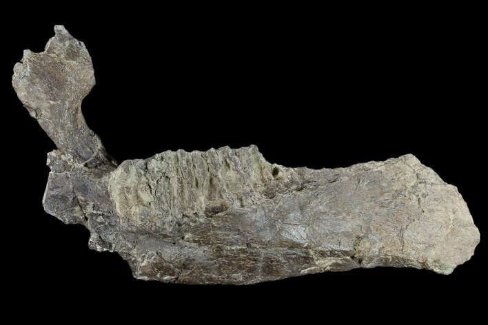 "12.7"" Fossil Hadrosaur (Edmontosaur) Jaw Section - North Dakota"