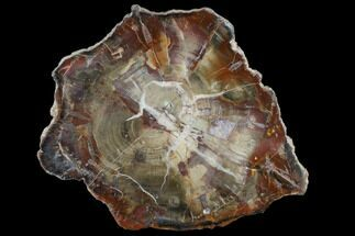 "Buy 9.2"" Triassic Petrified Wood (Araucaria) Slab - Circle Cliffs, Utah - #118069"