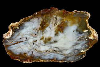 "5.7"" Colorful, Hubbard Basin Petrified Wood Slab - Nevada For Sale, #118037"