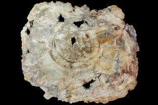 "Buy 20.1"" Petrified Wood (Araucaria) Slab - Madagascar  - #118462"