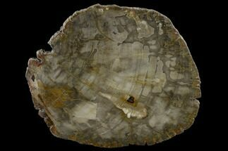 Araucaria sp. - Fossils For Sale - #118812