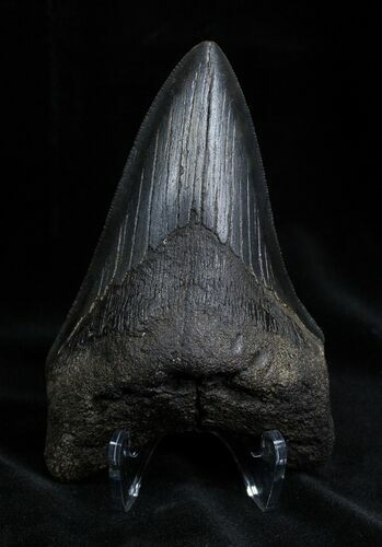 4.43 Inch Georgia Megalodon Tooth