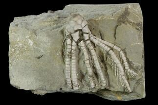 Phanocrinus formosus - Fossils For Sale - #118932