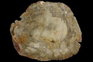 "Buy 7.4"" Petrified Wood (Araucaria) Slab - Madagascar  - #118846"