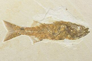"Buy 6.3"" Uncommon, Fossil Fish (Mioplosus) - Wyoming - #119650"