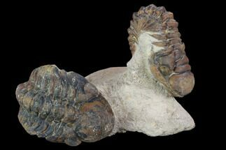 Buy Bargain, Crotalocephalina & Reedops Trilobite Association - #119908