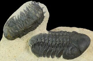 Crotalocephalina gibbus & Reedops - Fossils For Sale - #120075