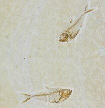 Two Fossil Fish (Diplomystus) - Green River Formation For Sale, #119648
