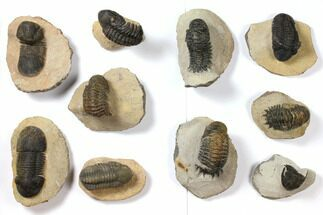 Buy Wholesale Lot: Assorted Devonian Trilobites - 10 Pieces - #119920