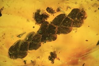 Buy Fossil Thuja Twig (Pinales) & Mite (Arachnida) In Baltic Amber - #120682