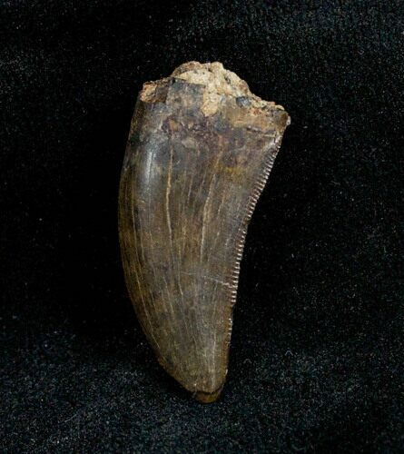 1.13 Inch Albertosaurus Tooth From Montana