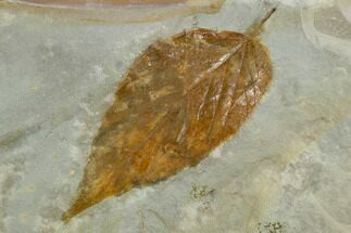 "2.6"" Fossil Hackberry (Celtis) Leaf - Montana For Sale, #120785"
