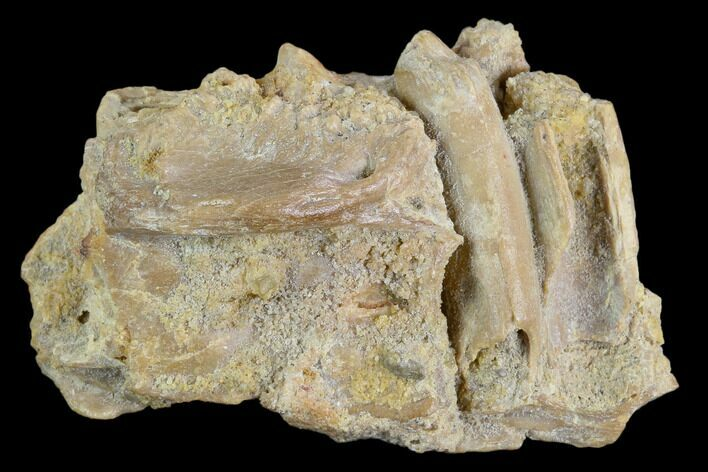 "2.0"" Fossil Crocodile Dentary (Lower Jaw) Bone - Aguja Formation, Texas"