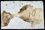 "Sparkly, 2.2"" Fossil Crab (Potamon) Preserved in Travertine - Turkey - #121381-1"