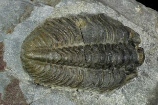 "Buy 1.15"" Gravicalymene arcuata Trilobite - United Kingdom - #121369"