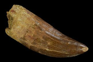 "Serrated, 3.12"" Carcharodontosaurus Tooth - Real Dinosaur Tooth For Sale, #121445"