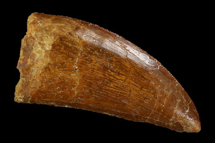 "Serrated, 2.53"" Carcharodontosaurus Tooth - Real Dinosaur Tooth"