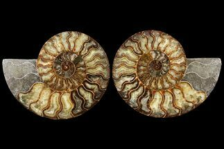 "7.45"" Agatized Ammonite Fossil (Pair) - Madagascar For Sale, #121475"