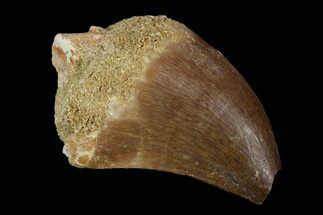 Prognathodon sp. - Fossils For Sale - #118899