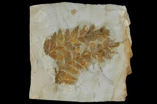Buy Two Fossil Ferns (Dennstaedtia) - Montana - #120835