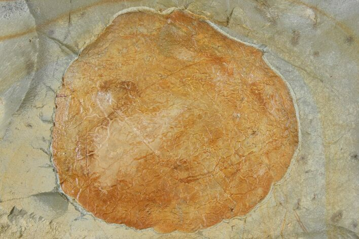 "3.0"" Fossil Leaf (Zizyphoides) - Montana"