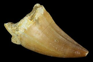 "1.4"" Mosasaur (Prognathodon) Tooth - Khouribga, Morocco For Sale, #118931"